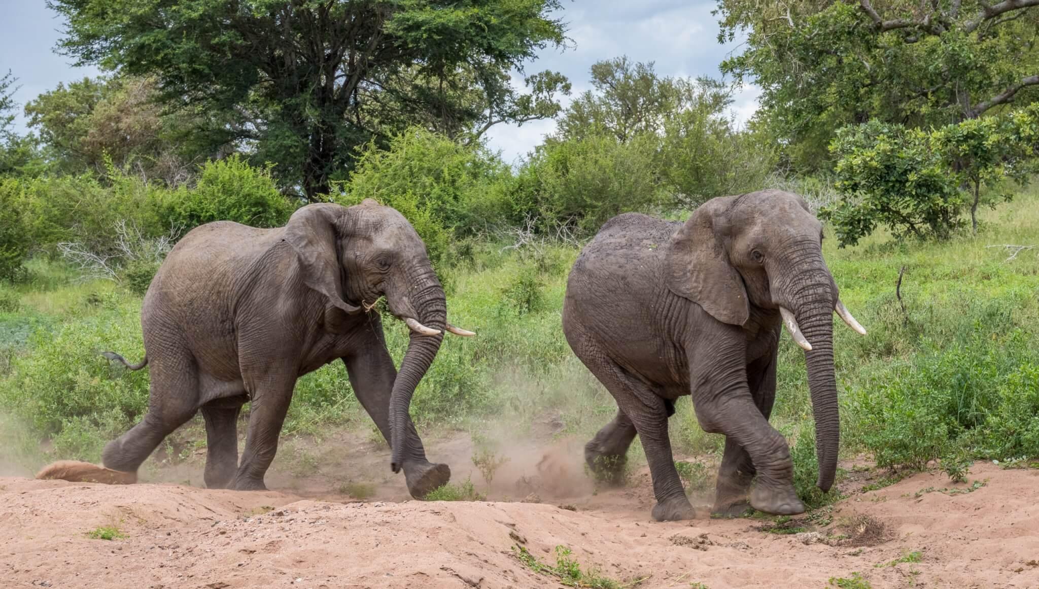 Elefantenrennen